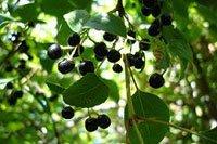 Maqui berry super fruit